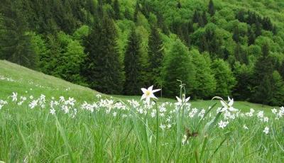 Rezervatia naturala Poiana cu Narcise de la Negrileasa
