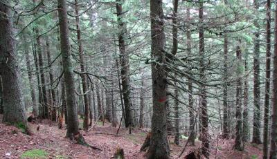 Rezervatia naturala Padurea de molid de la Macaria