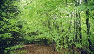 Rezervatia naturala Padurea Dalhauti Vrancea
